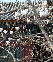 Chin-herb-med-magnolia-list